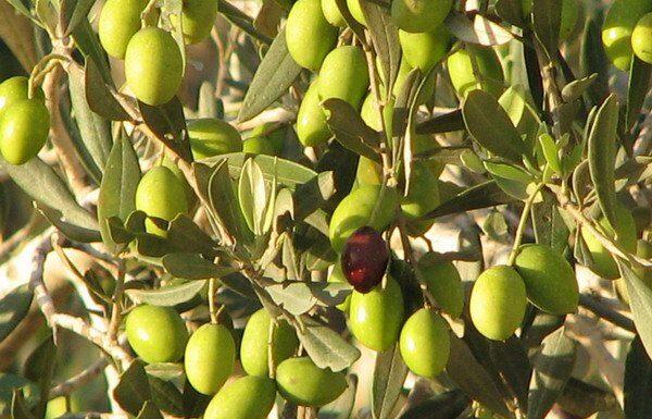 زيت الزيتون التركي يتصدر إلى 113 دولة